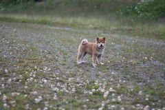 Shiba inu puppy 10 weeks old so cute Royalty Free Stock Photo