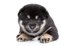 Shiba Inu puppy on white background Royalty Free Stock Images