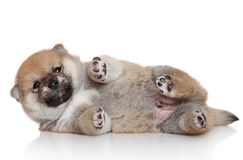 Shiba Inu puppy on white background Stock Photos