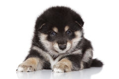 Shiba inu puppy on white background Stock Image