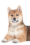 Shiba inu puppy on white background Royalty Free Stock Photography
