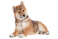 Shiba inu puppy on white background Stock Images