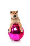 Shiba inu puppy on white Royalty Free Stock Photos