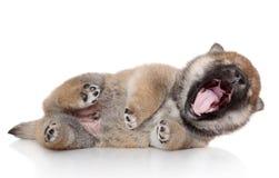 Shiba inu puppy yawn Stock Photo