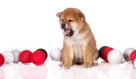 Shiba inu puppy yawning Royalty Free Stock Image