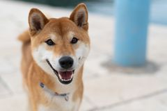 Shiba Inu pure breed dog. Japanese Shiba Inu pure breed dog. Cute shiba inu male stock photos