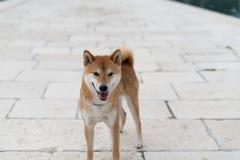Shiba Inu pure breed dog. Japanese Shiba Inu pure breed dog. Cute shiba inu male stock photo