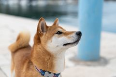 Shiba Inu pure breed dog. Japanese Shiba Inu pure breed dog. Cute shiba inu male royalty free stock photos