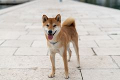 Shiba Inu pure breed dog. Japanese Shiba Inu pure breed dog. Cute shiba inu male royalty free stock photo