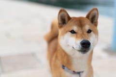 Shiba Inu pure breed dog. Japanese Shiba Inu pure breed dog. Cute shiba inu male stock images
