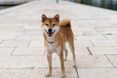 Shiba Inu pure breed dog. Japanese Shiba Inu pure breed dog. Cute shiba inu male royalty free stock images