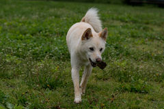Shiba Inu running with a stick. Selective focus Stock Image