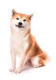 Shiba Inu senta-se em um fundo branco Foto de Stock