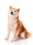 Shiba Inu senta-se em um fundo branco Imagens de Stock