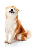 Shiba Inu senta-se em um fundo e em um sorriso brancos Imagens de Stock Royalty Free
