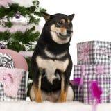 Shiba Inu, sentando-se com árvore de Natal e presentes Fotos de Stock