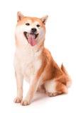 Shiba Inu siedzi na białym tle zdjęcie stock