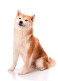 Shiba Inu siedzi na białym tle obrazy stock