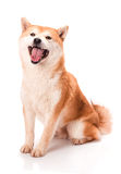 Shiba Inu sits on a white background Stock Images