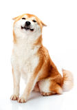 Shiba Inu sits on a white background and smiling Royalty Free Stock Images