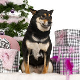 Shiba Inu, sitting with Christmas tree and gifts stock photos