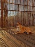Shiba inu som tycker om en sunbath royaltyfria bilder