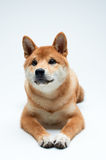 Shiba Inu szczeniak Obrazy Stock