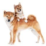 Shiba inu szczeniak i pies Obraz Royalty Free
