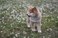 Shiba inu szczeniak 10 tygodni starych w ten sposób śliczni Zdjęcia Stock