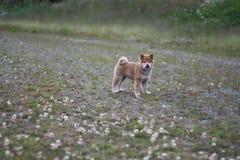 Shiba inu szczeniak 10 tygodni starych w ten sposób śliczni Zdjęcie Royalty Free