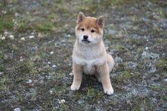 Shiba inu szczeniak 10 tygodni starych w ten sposób śliczni zdjęcie stock