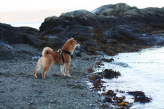 Shiba inu szczeniaka pies przy plażą w Norwegia fotografia stock