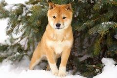 Shiba Inu valp i snö under träd Arkivbild