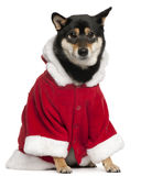 Shiba Inu wearing Santa outfit, 2 years old. Sitting in front of white background Royalty Free Stock Image