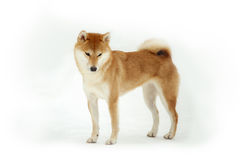 Shiba inu  on white Stock Photos