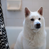 Shiba Inu. White Shiba Inu hiding in the tub Royalty Free Stock Photos