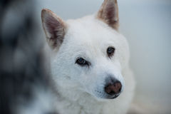 Shiba Inu. White Shiba Inu waiting for a treat Royalty Free Stock Images