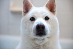 Shiba Inu. White Shiba Inu waiting for a treat Royalty Free Stock Photography
