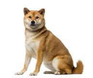 Shiba Inu (2 years old) Royalty Free Stock Image