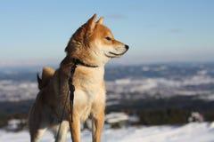 Shiba inuhund som spelar i snön arkivbilder