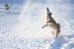 Shiba inuhund som spelar i snön Arkivfoto