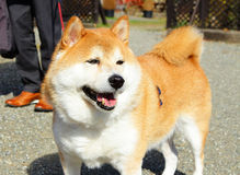 Shiba at outdoor. Japanese Shiba dog  at outdoor Royalty Free Stock Images