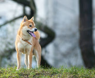 Shiba pies Inu fotografia royalty free