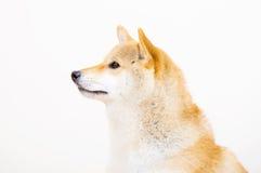 Shiba side profile Stock Photography
