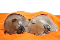 Shibainu puppies sleep under blanket Royalty Free Stock Photos