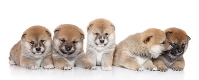 ShibaInu puppies on a white backgroud Stock Photography