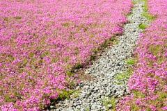 Shibazakura领域方式  图库摄影