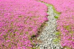 Shibazakura领域方式  库存照片