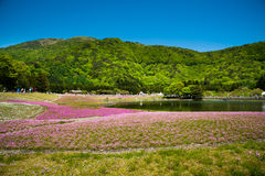 Shibazakura领域 库存照片