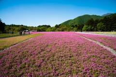 Shibazakura领域 免版税库存图片